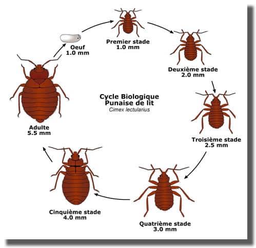cycle biologique de la punaise de lit