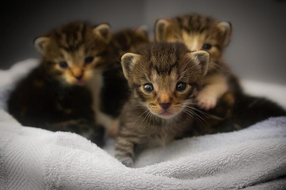 Prendre soin d'une chatte avant l'accouchement
